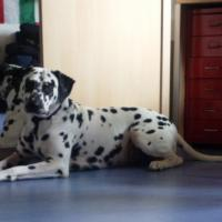 Droopy Dalmatien