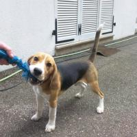 Escko Beagle