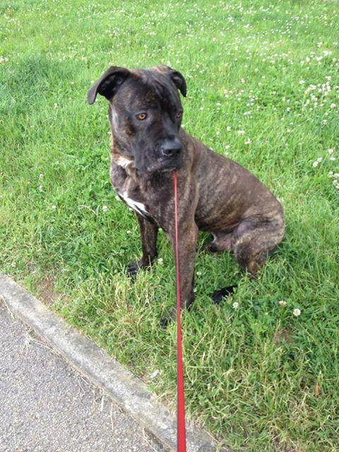 Eros cane corso chien en promenade