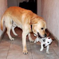 Gandor Labrador et Ioda Jack Russel