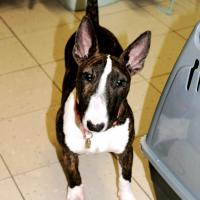 Heidi Bull terrier nain