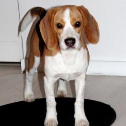 Holdup Beagle de 6 mois