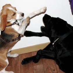 Holdup Beagle de 6 mois et Black Labradore