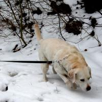 Tequila Labrador en promenade