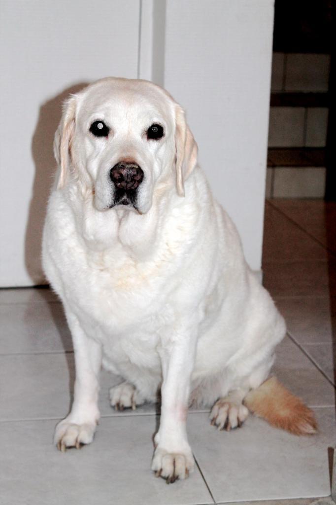 Tequila Labrador