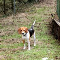 Hava Beagle