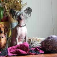 Hermès chien nu du Japon et Daisy Teckel